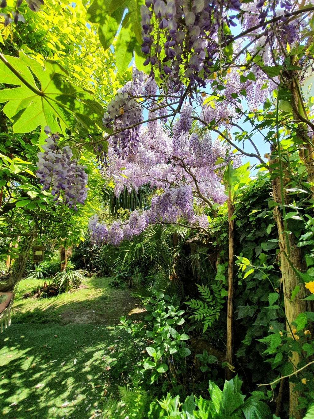 Wisteria - les glycines  - Page 10 20210414