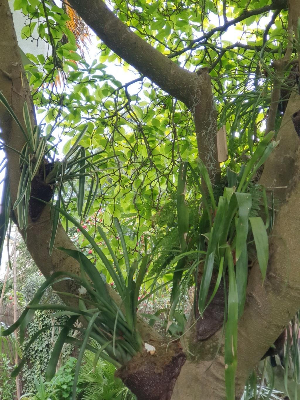 Support à épiphytes et broméliacées rustiques - Page 8 20210443