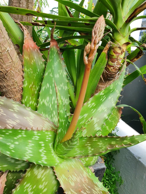 Aloe grandidentata - Page 3 20210467