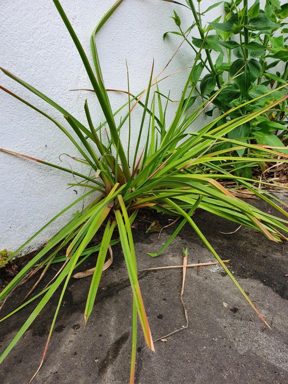 Kniphofia (= Tritoma) - faux Aloe - Page 3 20210480