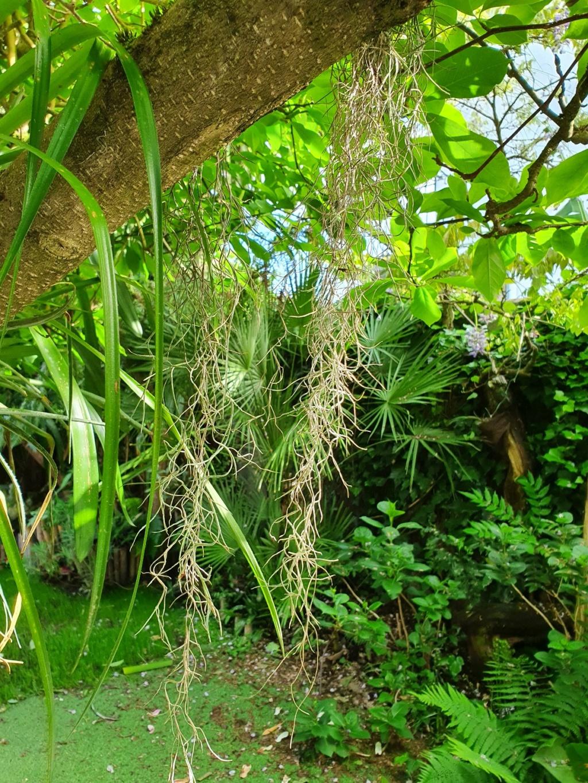 Support à épiphytes et broméliacées rustiques - Page 8 20210485