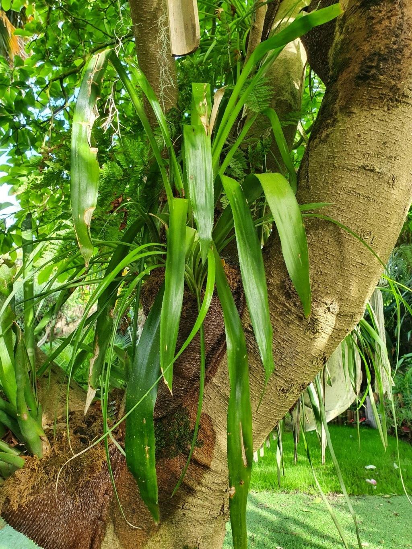 Support à épiphytes et broméliacées rustiques - Page 8 20210487