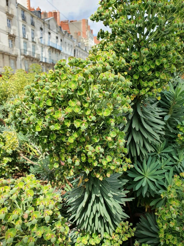 Euphorbia characias - Page 4 20210493