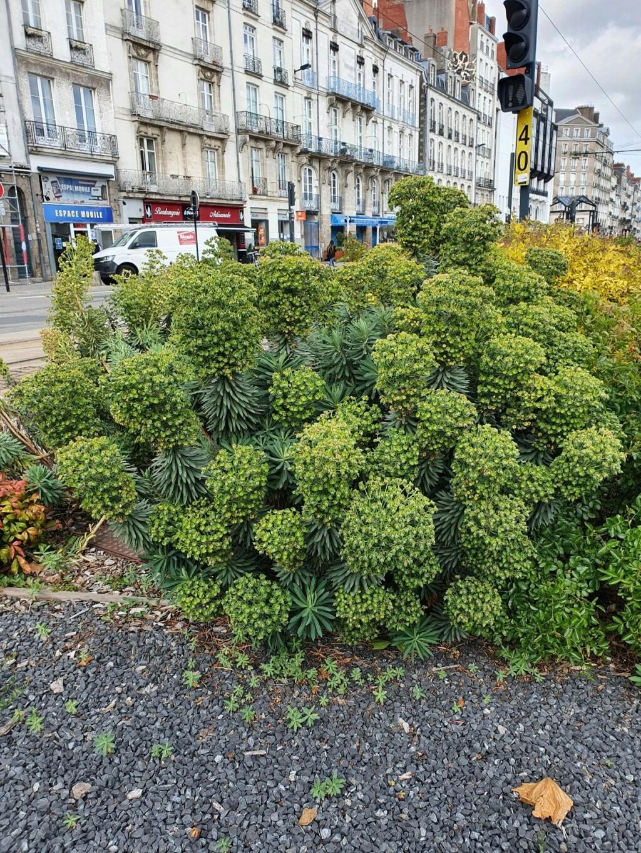 Euphorbia characias - Page 4 20210494
