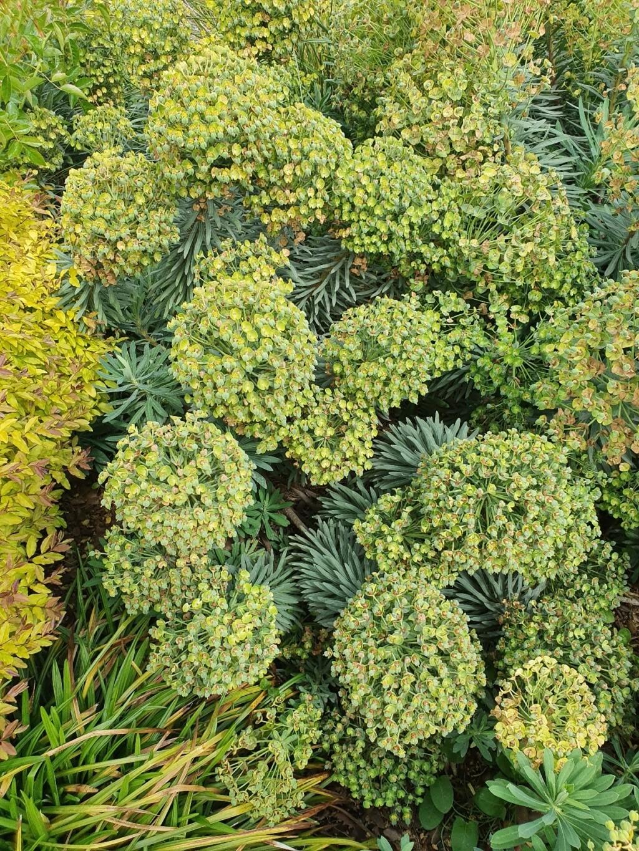 Euphorbia characias - Page 4 20210495
