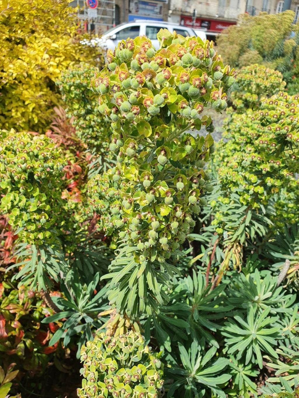 Euphorbia characias - Page 4 20210496