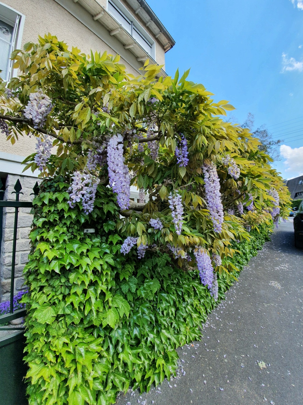 Wisteria - les glycines  - Page 10 20210524