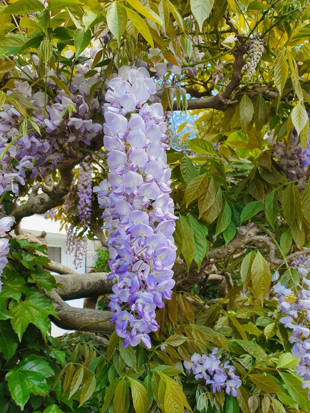 Wisteria - les glycines  - Page 10 20210525
