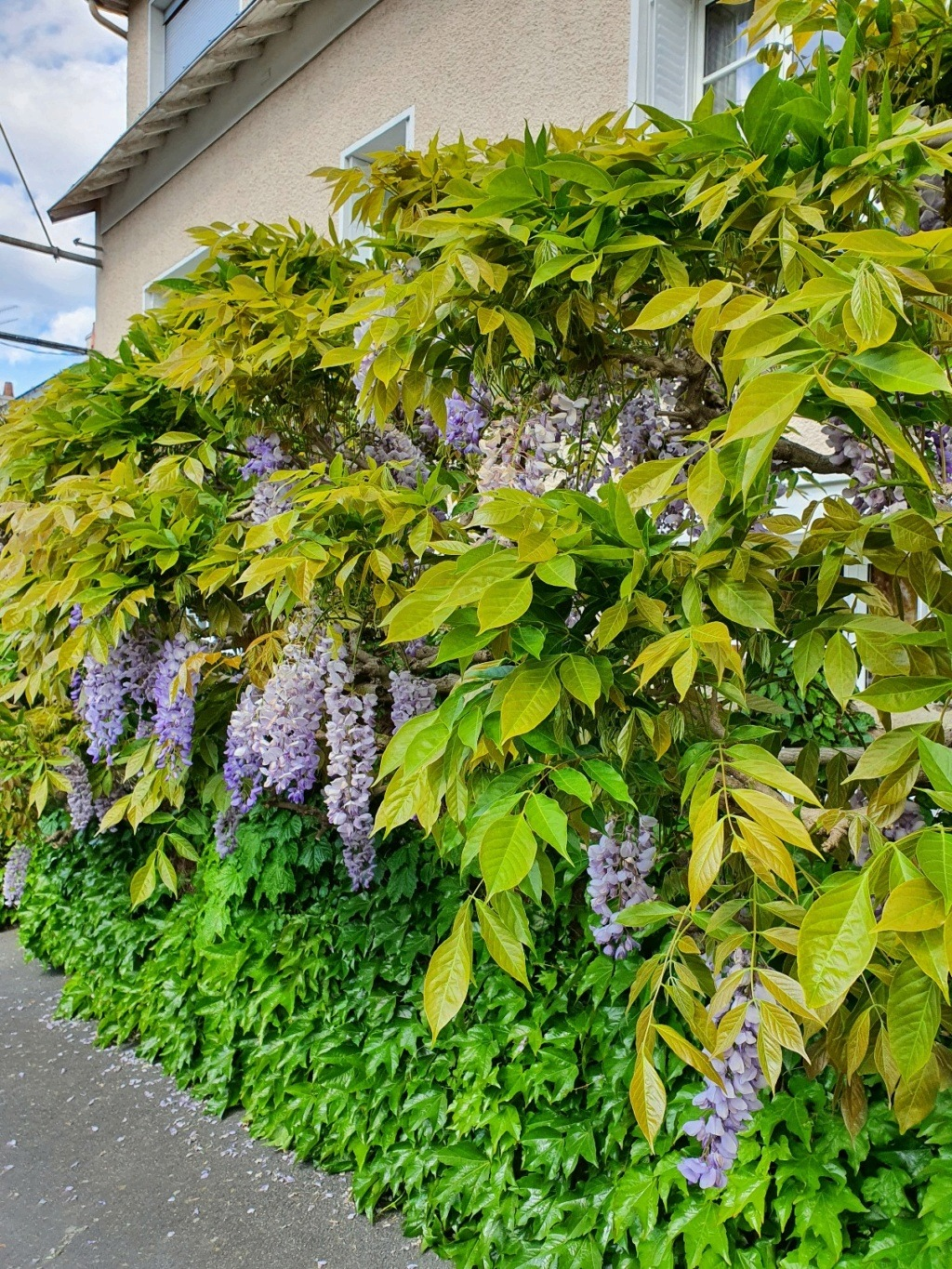 Wisteria - les glycines  - Page 10 20210526