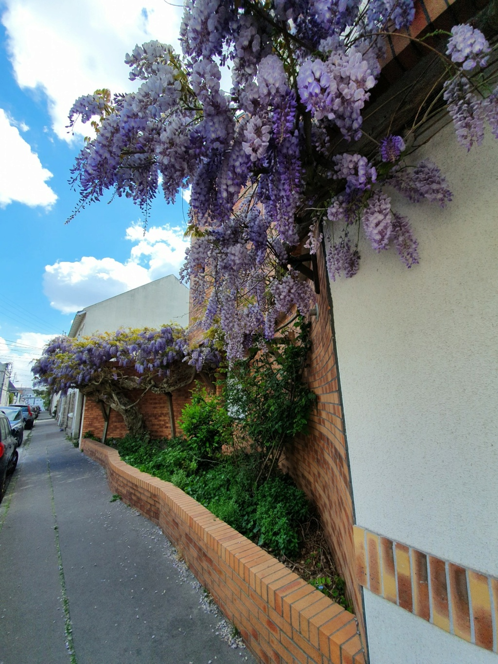 Wisteria - les glycines  - Page 10 20210527