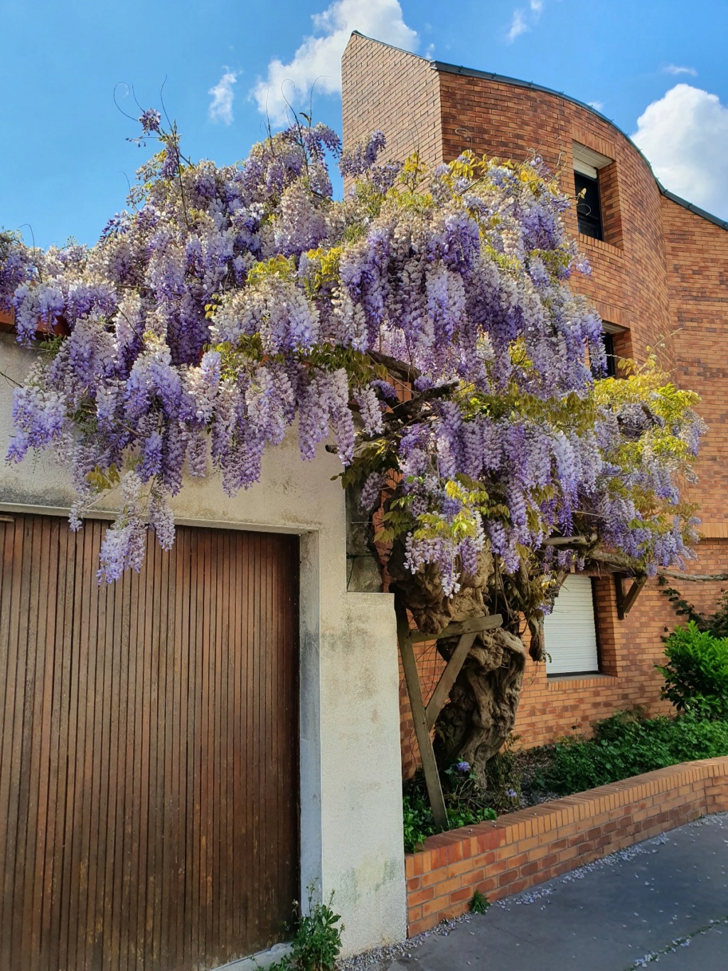 Wisteria - les glycines  - Page 10 20210528