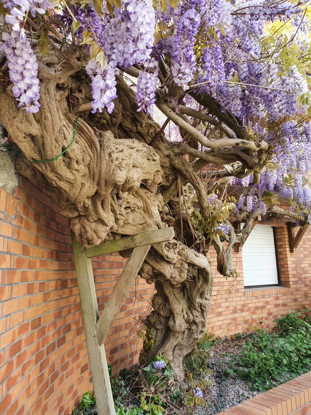Wisteria - les glycines  - Page 10 20210529