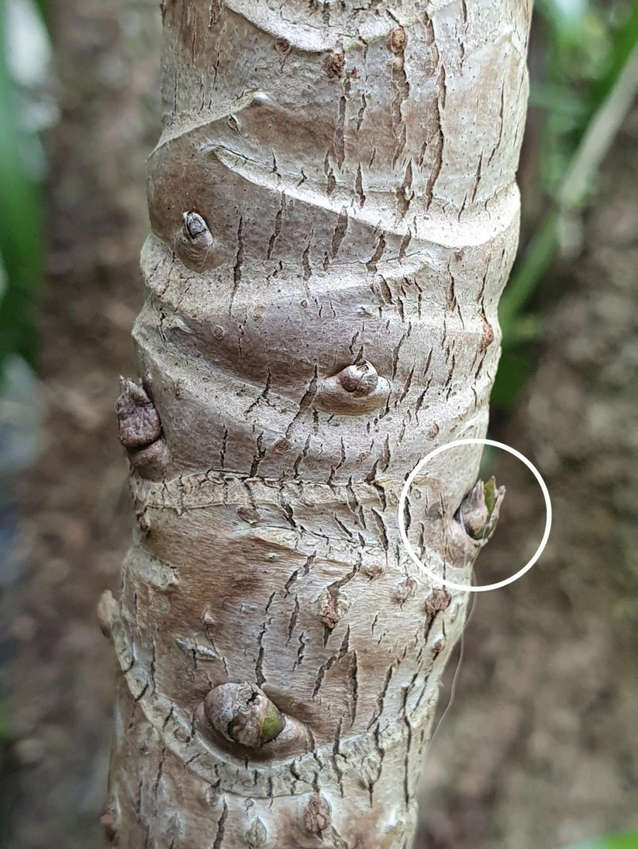 Schefflera rhododendrifolia (= Schefflera impressa) - Page 3 20210544
