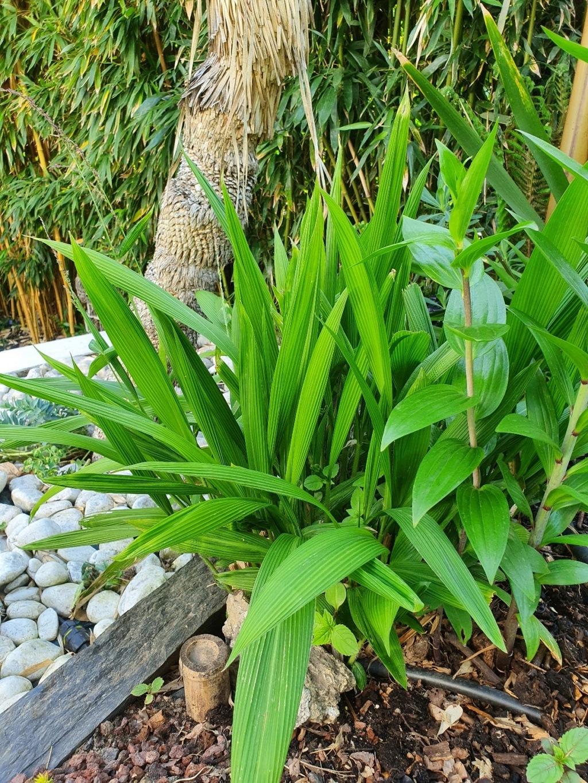Rémi - Mon (tout) petit jardin en mode tropical - Page 20 20210567