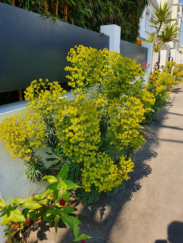 Euphorbia characias - Page 4 20210584