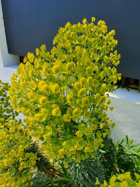 Euphorbia characias - Page 4 20210585