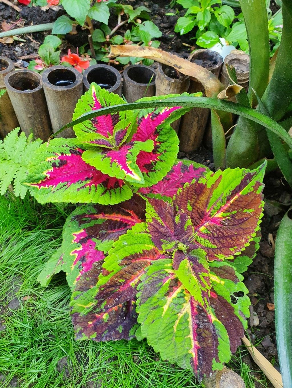 Rémi - Mon (tout) petit jardin en mode tropical - Page 20 20210642