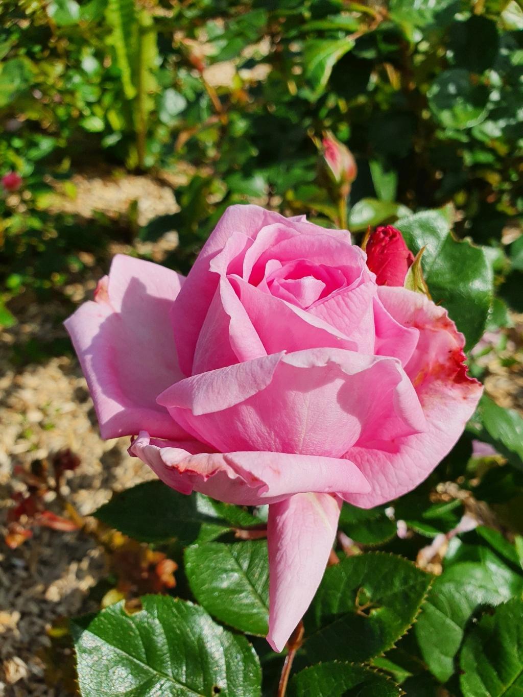 Les rosiers  parfumés 20210666
