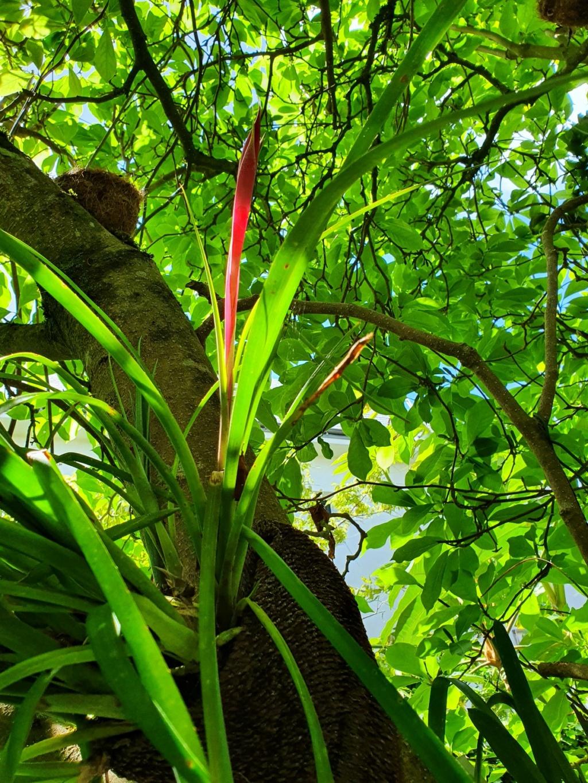 Support à épiphytes et broméliacées rustiques - Page 8 20210677