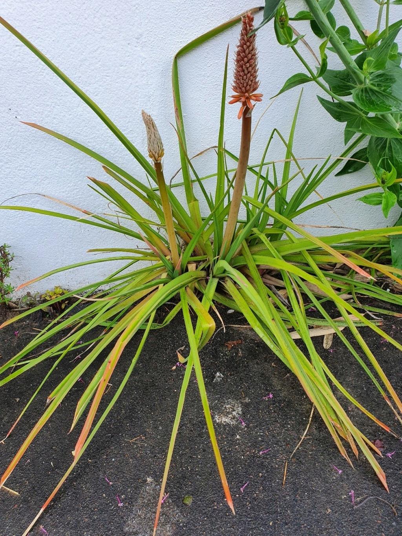 Kniphofia (= Tritoma) - faux Aloe - Page 3 20210689