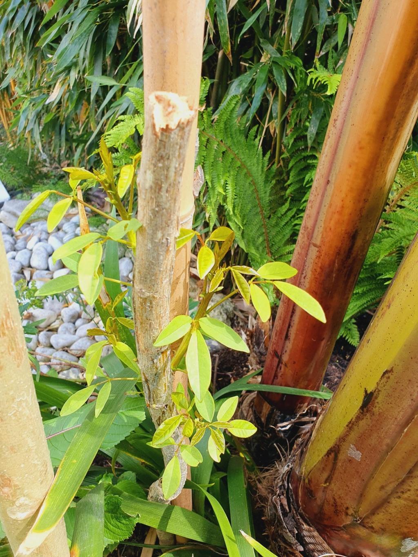 Erythrina crista-galli - Page 14 20210691