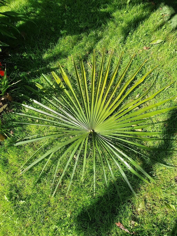 Trachycarpus fortunei - Page 13 20210706