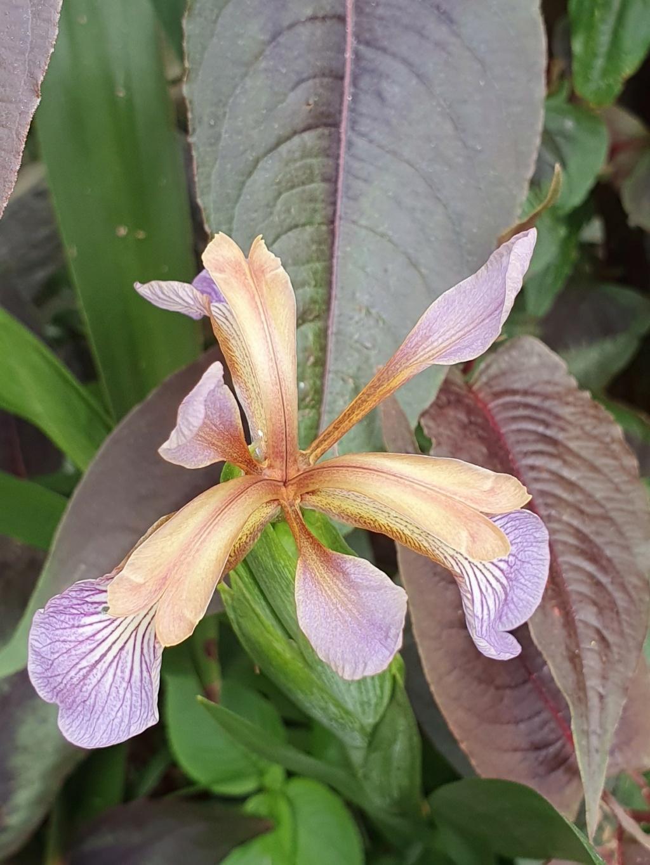 Iris foetidissima - Page 3 20210725