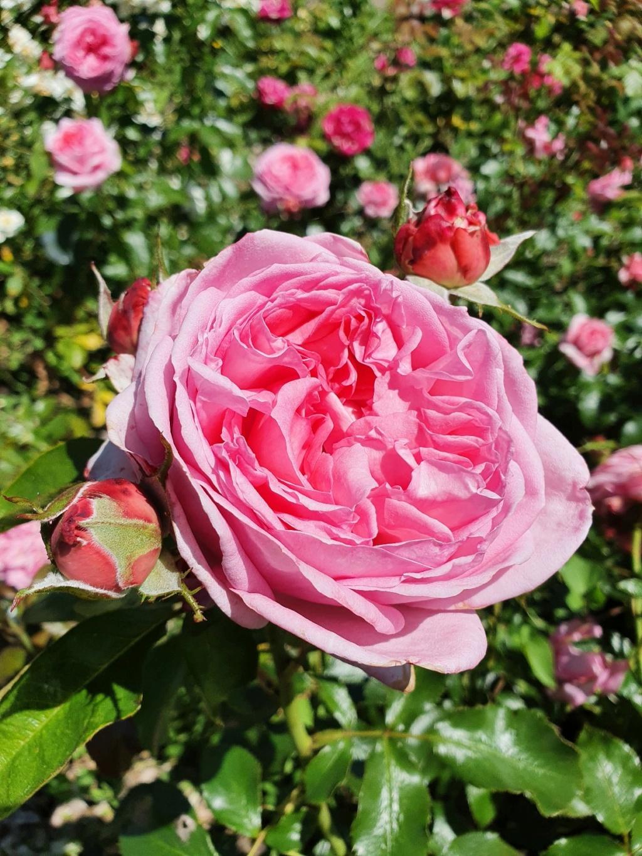 Les rosiers  parfumés 20210748