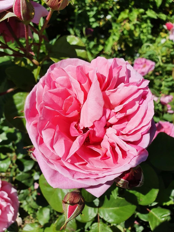 Les rosiers  parfumés 20210749