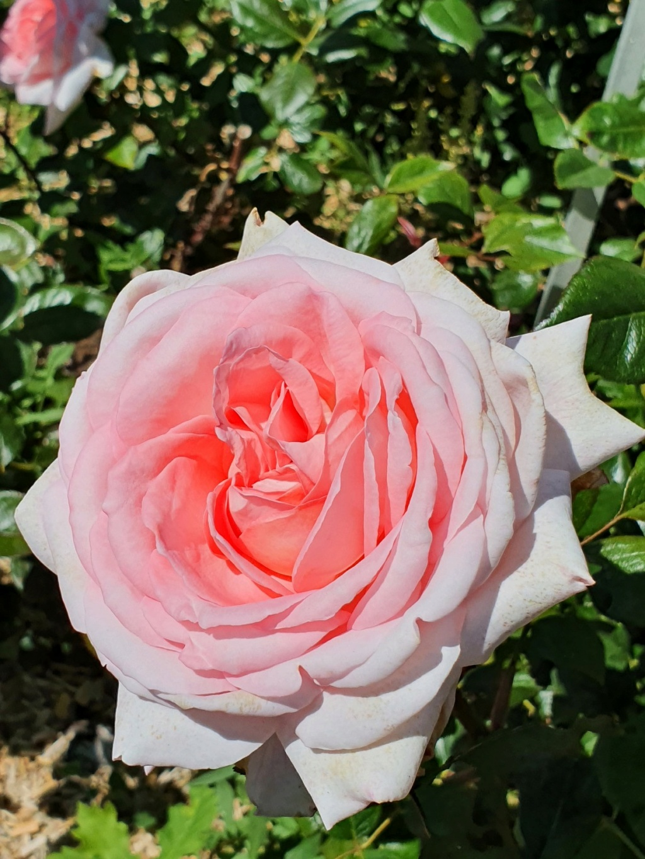 Les rosiers  parfumés 20210751