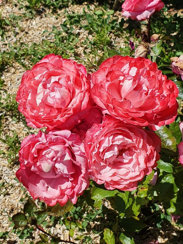 Les rosiers  parfumés 20210755