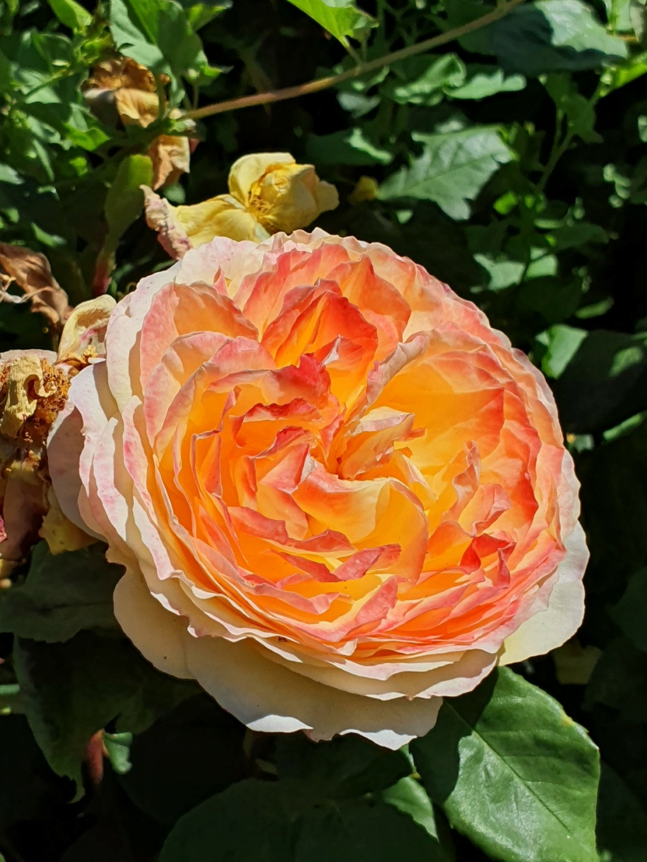Les rosiers  parfumés 20210758
