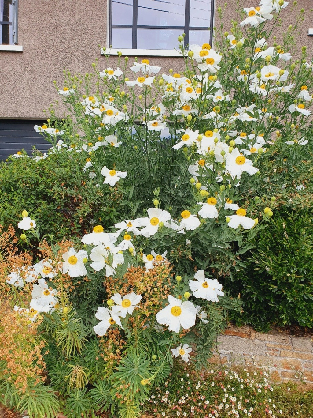 Romneya coulteri - Page 4 20210769