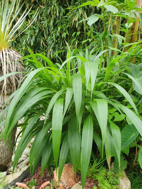 Setaria palmifolia - sétaire à feuilles de palmier - Page 4 20210799