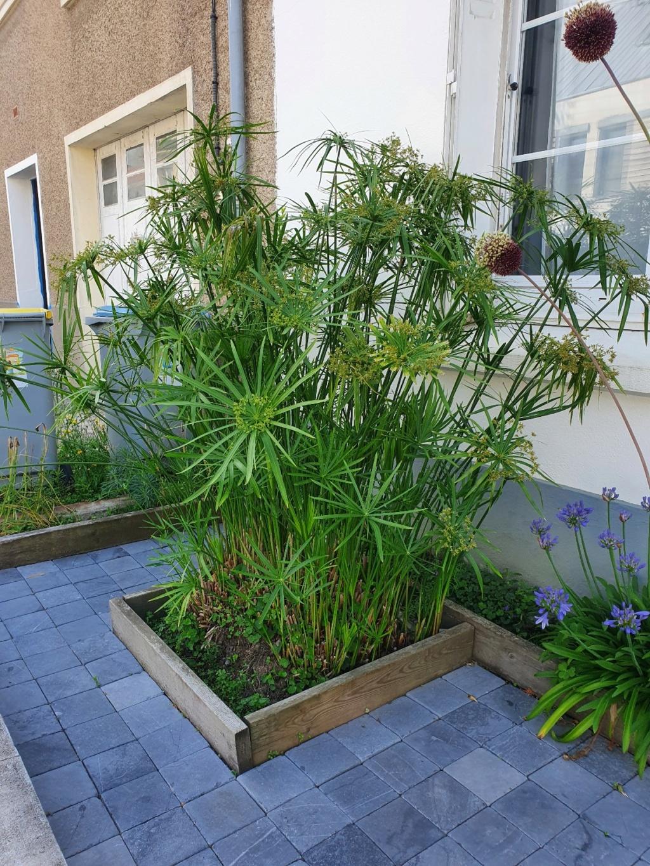 Cyperus alternifolius - papyrus à feuilles alternes 20210819