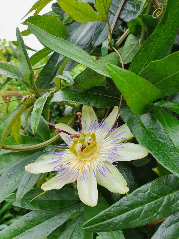 Passiflora caerulea - Page 6 20210821