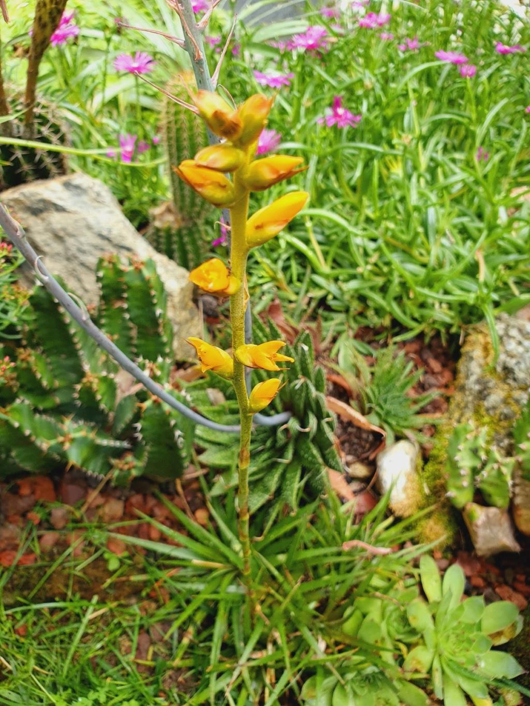 Dyckia brachyphylla - Page 2 20210832