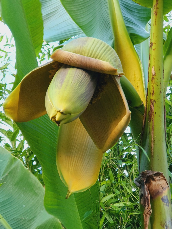 Musa basjoo - bananier du Japon - Page 5 20210857
