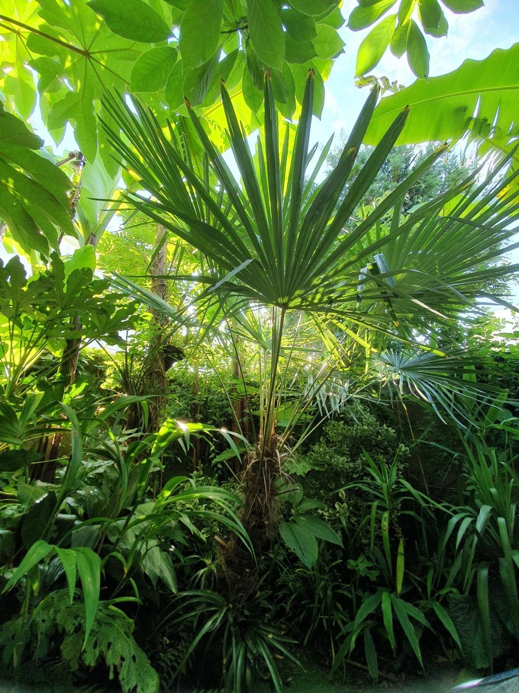 Trachycarpus fortunei - Page 13 20210868