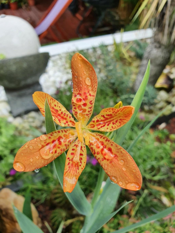 Iris domestica (= Belamcanda chinensis) - Page 4 20210879