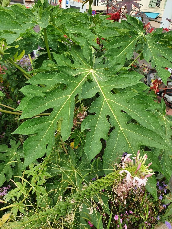 Carica papaya - papayer - Page 4 20210929