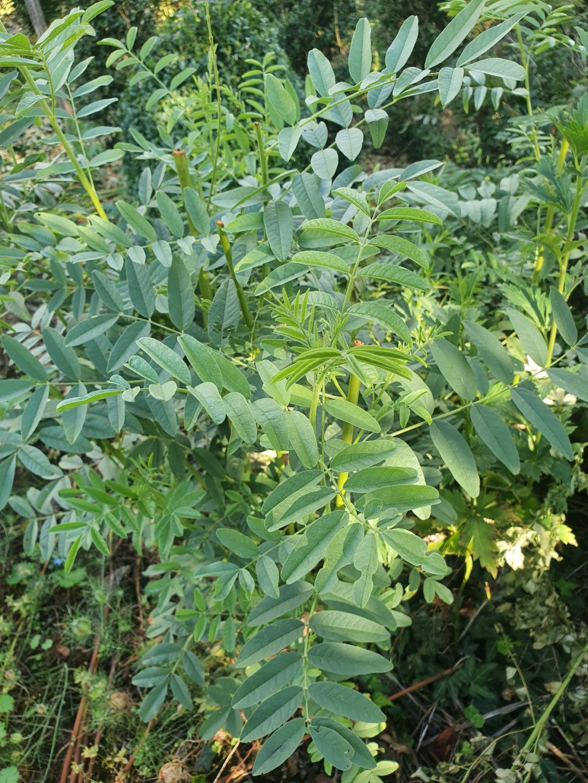 Glycyrrhiza glabra 20210971