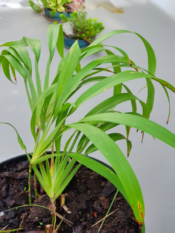 Plante mal identifiée ?? - Dianella bambusifolia [Identification] 20211020