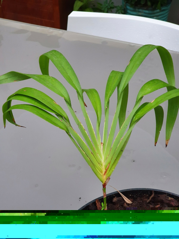 Plante mal identifiée ?? - Dianella bambusifolia [Identification] 20211021