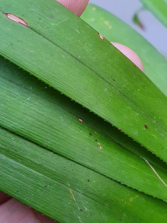 Plante mal identifiée ?? - Dianella bambusifolia [Identification] 20211023