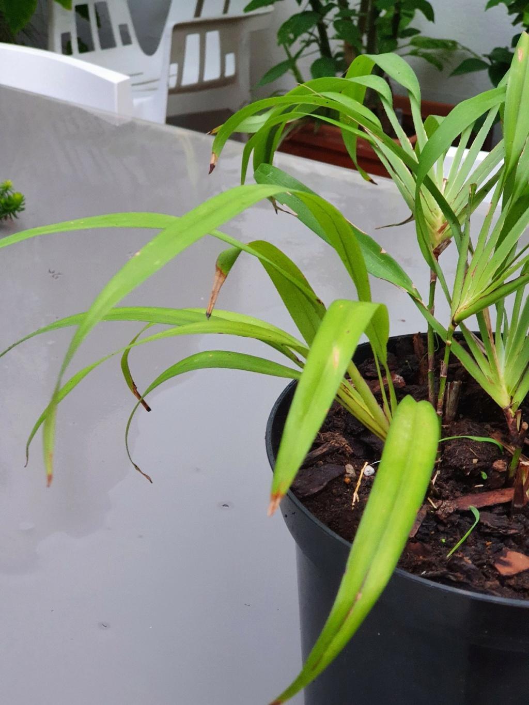 Plante mal identifiée ?? - Dianella bambusifolia [Identification] 20211024