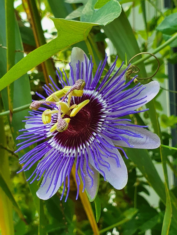 Passiflora 'Purple Haze' - Page 2 20211030