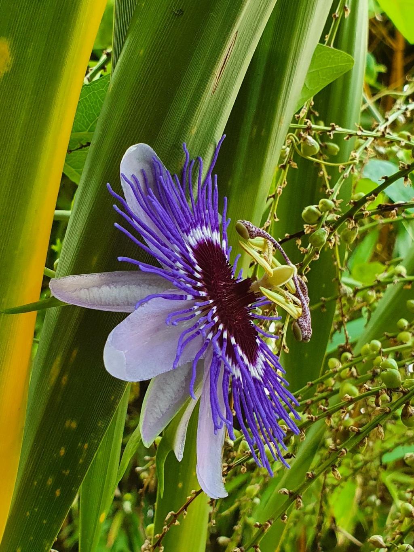 Passiflora 'Purple Haze' - Page 2 20211031