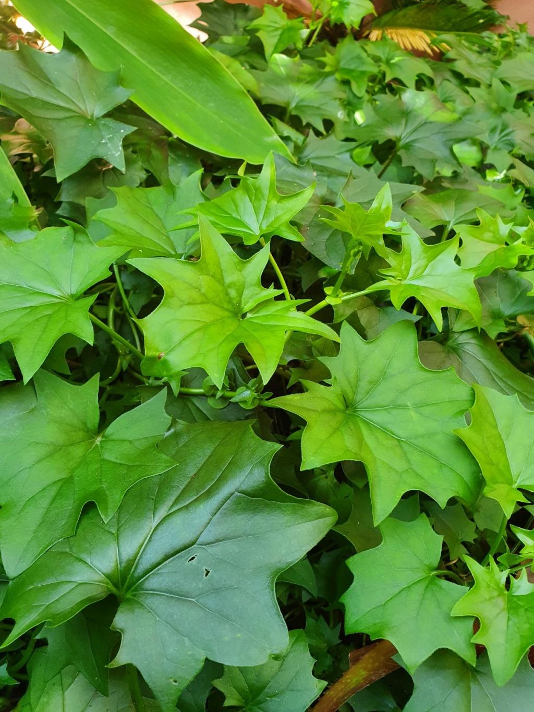 Delairea odorata - ( = Senecio mikanioides) 20211076
