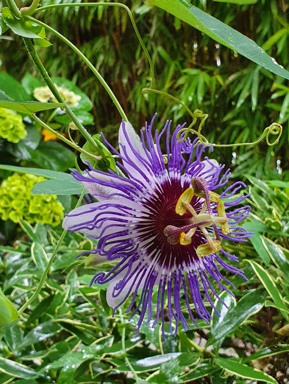 Passiflora 'Purple Haze' - Page 2 20211079
